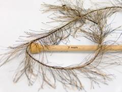 Long Eylash - velbloudíčerná